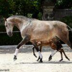 haras du coussoul vaisse etalon chevaux